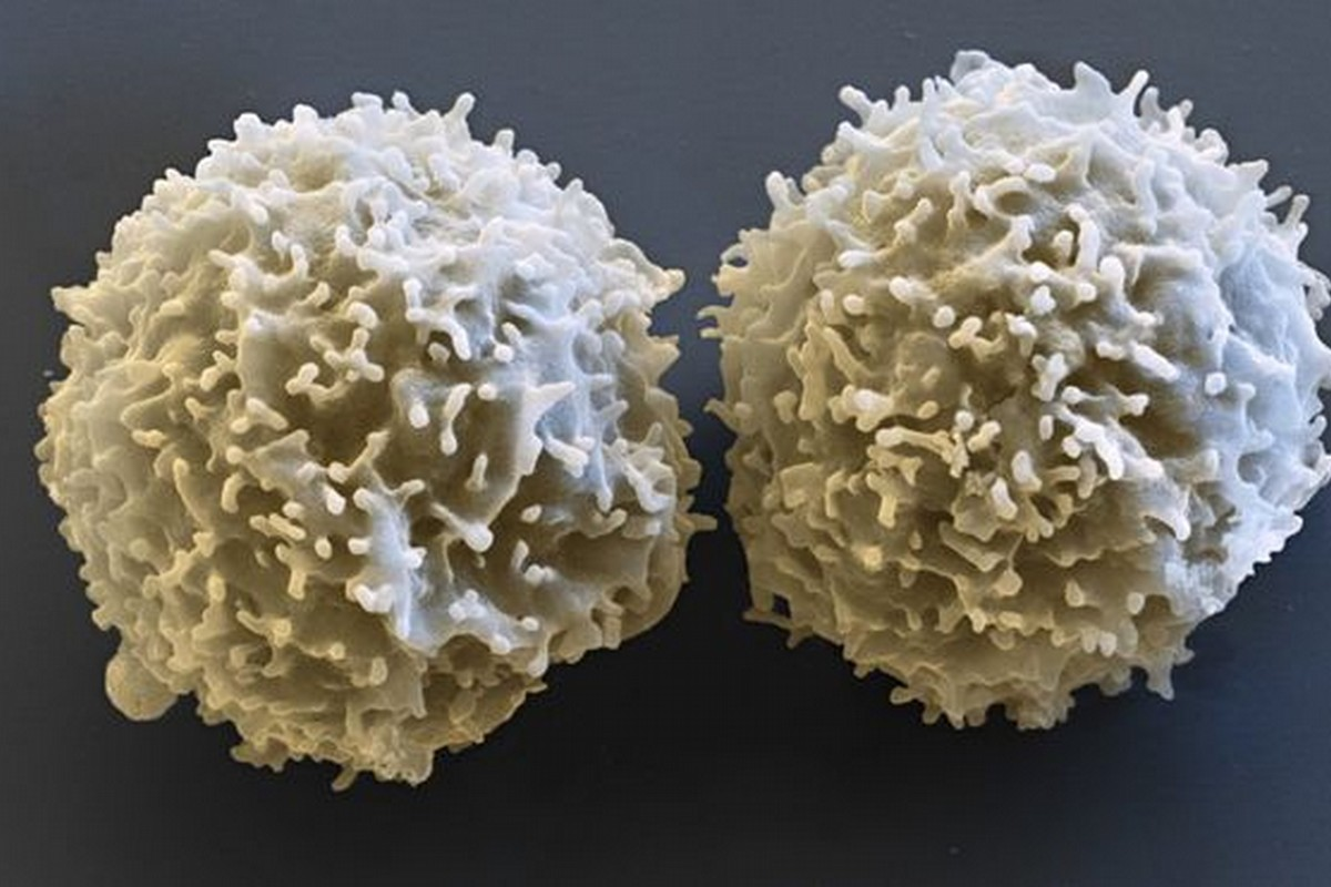 Micrografia elettronica a scansione di linfociti T (© Eye of Science/SPL/AGF)