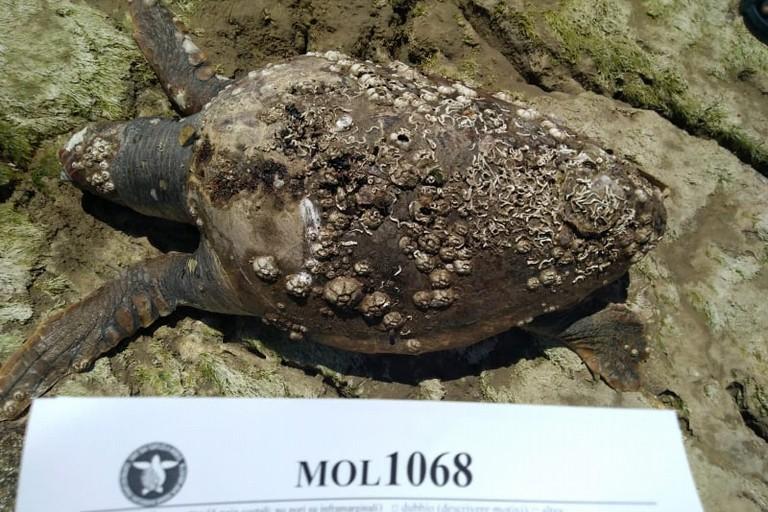La tartaruga rinvenuta al lido Azzurro