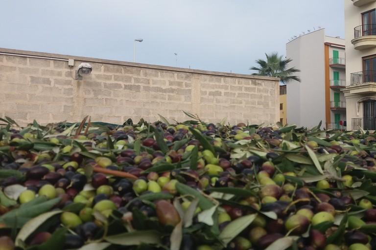 Olive nella Cooperativa Olivicultori. <span>Foto Gianluca Battista</span>