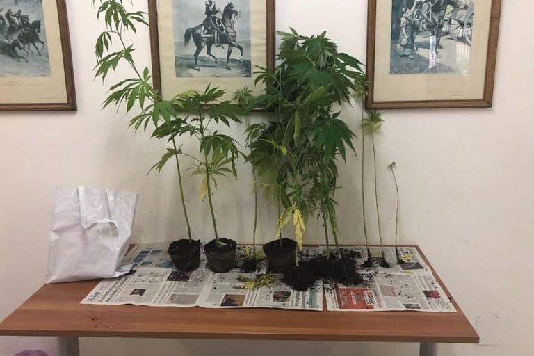 Le 13 piante di marijuana sequestrate dai Carabinieri