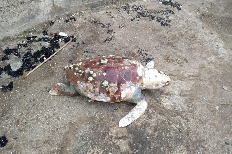 La tartaruga morta in località Trincea
