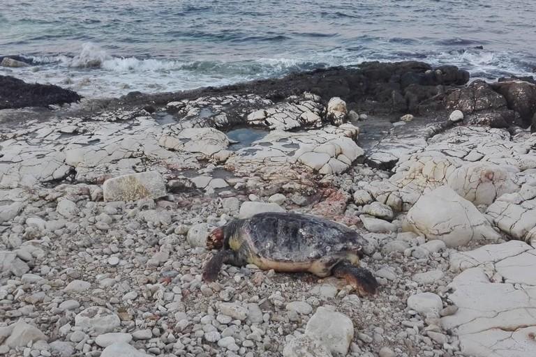 La tartaruga rinvenuta in località Pozzo Pato