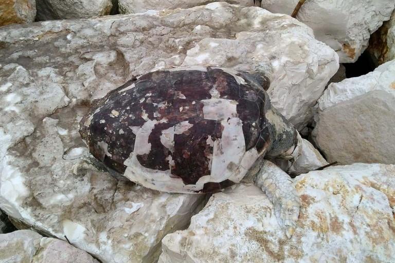 La tartaruga rinvenuta sul lungomare di Ponente