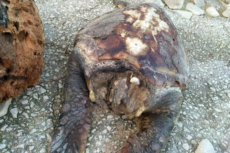 La tartaruga rinvenuta in località San Matteo