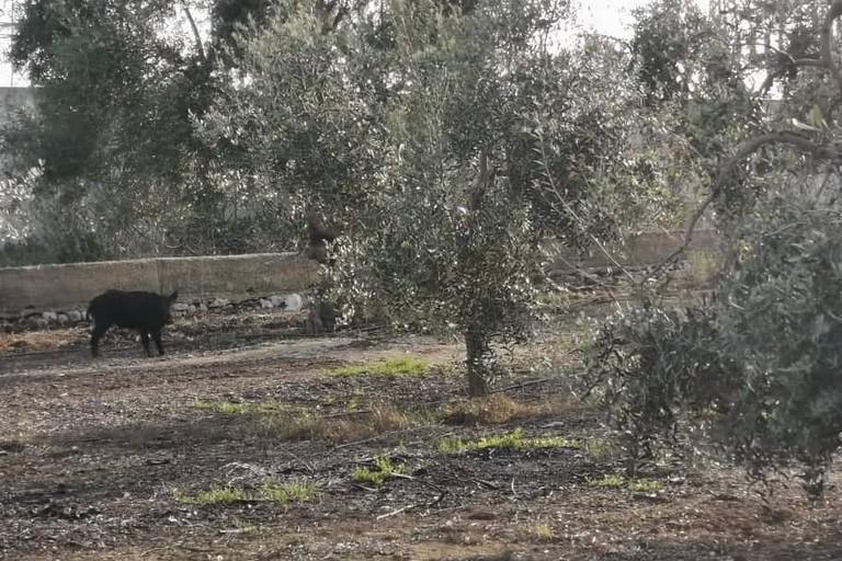 Cinghiali inseguiti dai cani, intervengono le Guardie Campestri