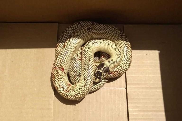 Il serpente esotico catturato dal WWF