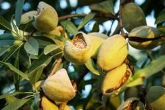 Furti di mandorle: l'allarme di Coldiretti Puglia