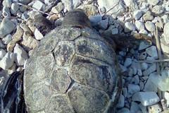 Tartaruga senza vita spiaggiata a Levante