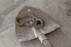 Natrice scambiata per vipera: uccisa per paura