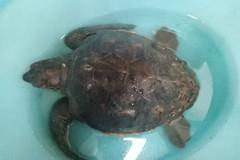Salvata una tartaruga: nuotava impigliata tra plastica e nylon
