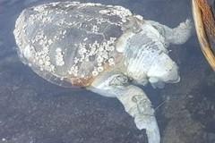 Tartaruga ritrovata in mare, ennesimo esemplare di caretta senza vita