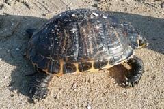 Tartaruga d'acqua dolce in mare: salvata dai volontari del WWF