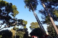 Ramo di pino pericolante: interviene l'autoscala dei Vigili del Fuoco