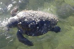 Il mare spiaggia una tartaruga, rinvenuto un esemplare alla Trincea