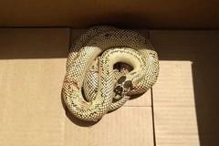 Serpente esotico a spasso in via Lupis catturato dal WWF