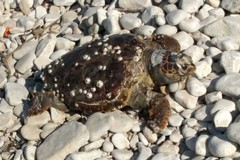 Tartarughe, è di nuovo emergenza: una spiaggiata anche a Giovinazzo