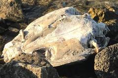 Ritrovamento a Molfetta: mare restituisce tartaruga priva della testa e degli arti