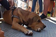 """Cagnetta smarrita si intrufola nell'IPSIA """"Banti"""". L'appello della Lega del Cane"""