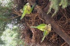 Invasione di pappagalli a Giovinazzo. Interviene Coldiretti