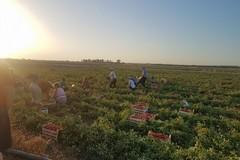 Emiliano firma l'ordinanza: stop al lavoro nei campi nelle ore più calde