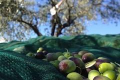 «Far west in campagna con furti di olive e mezzi agricoli»