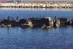 I cormorani invadono le coste pugliesi. Avvistamenti ripetuti anche a Giovinazzo