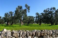Xylella, partito il monitoraggio ARIF nell'agro di Giovinazzo