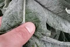 Coldiretti Puglia: «Due giorni di gelo in campagna fanno strage di colture»