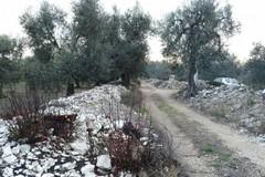 Carrubo secolare abbattuto in località Sant'Eustachio