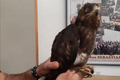 Falco pecchiaiolo in difficoltà recuperato dalla Polizia Locale