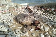 Le mareggiate fanno strage di tartarughe: spiaggiate due in poche ore