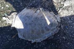 Tartaruga ritrovata senza testa e pinne: era una caretta caretta