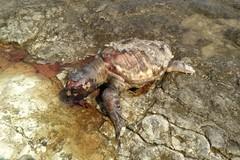 Rinvenuta un'altra tartaruga caretta caretta in decomposizione