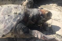 Tartaruga marina spiaggiata in località Peschiera