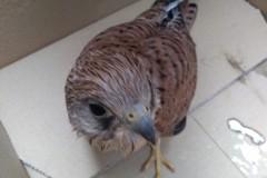 Recuperato un falco grillaio in località Cappella