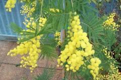 8 marzo, Assessori e Consigliere del Comune di Giovinazzo donano alla città un alberello di mimosa