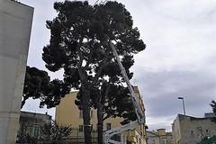 """Scuola """"San Tommaso"""": rimossi i bozzoli di processionaria"""