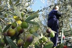 Olio e ortofrutta, -30% dei prezzi. L'allarme di Coldiretti Puglia