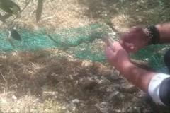 Serpente cervone impigliato in una rete, salvato dal WWF