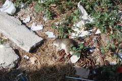 Ancora un ratto morto a Ponente