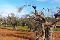 Xylella, M5S: «Invece di scaricare le colpe sul Governo, Emiliano e Di Gioia chiedano scusa agli agricoltori»