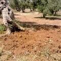 Emergenza xylella, il 1° marzo il Comune chiama a raccolta gli agricoltori