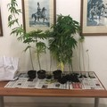 13 piante di marijuana sul balcone, denunciato un 58enne