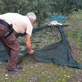 Furto di olive con spuntino sventato dalle Guardie Campestri