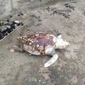 Tartaruga trovata morta sul litorale di Ponente