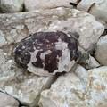 Ritrovata una carcassa di tartaruga, la decima negli ultimi due giorni