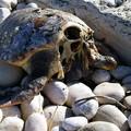 Tartarughe rinvenute decapitate sulla spiaggia. Insorge Salvemini
