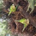 Invasione di pappagalli verdi a Giovinazzo e dintorni: mandorle devastate