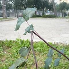 Sfregiato un carrubo in piazza Garibaldi