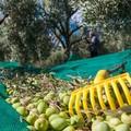 Furti di olive, la Cia: «Agricoltori costretti alle ronde notturne»